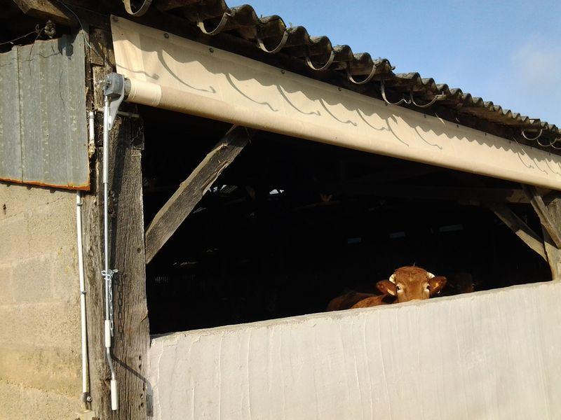 rideau-brise-vent-agricole-charolais-2